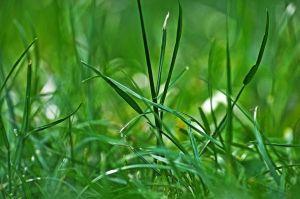 Foglie d'erba
